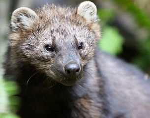 Fisher Cats Are Large Dark Long Haired Members Of The Weasel Family They Have Short Legs Small Ears And A Long Well F Fisher Animal Animals Forest Animals