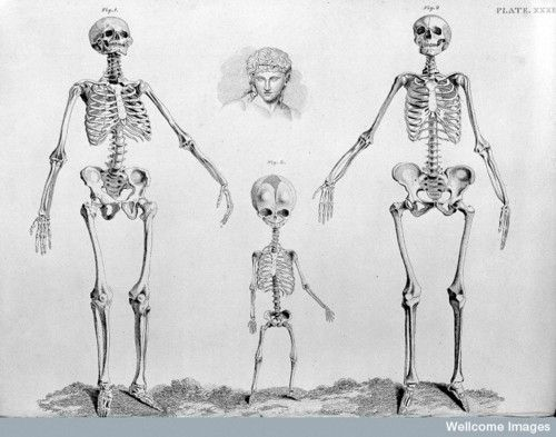 male, female, and child skeletons fromthe anatomy of the bones of, Skeleton