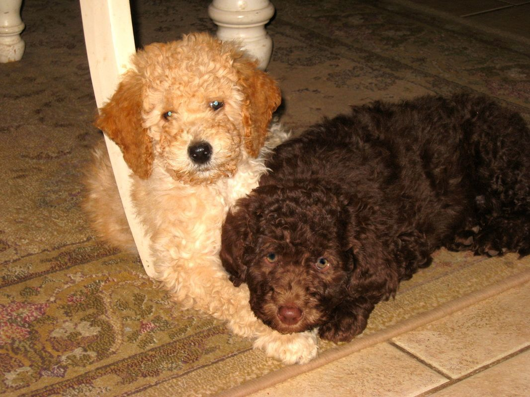 Willowgreen Goldendoodles Is A Family Run Goldendoodle Breeder