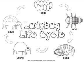 Kid Color Pages Ladybug Life Cycle Life Cycle Craft Life