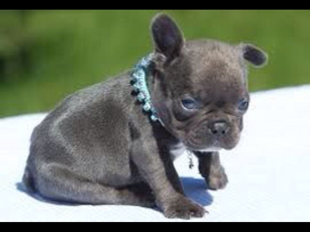 Blue French Bulldog Puppy Blue french bulldog puppies