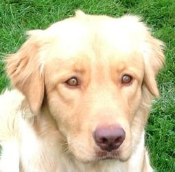 Shelby Is An Adoptable Golden Retriever Dog In Westmont Il