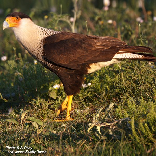 #Laredo #Birding #Texas #Wildlife