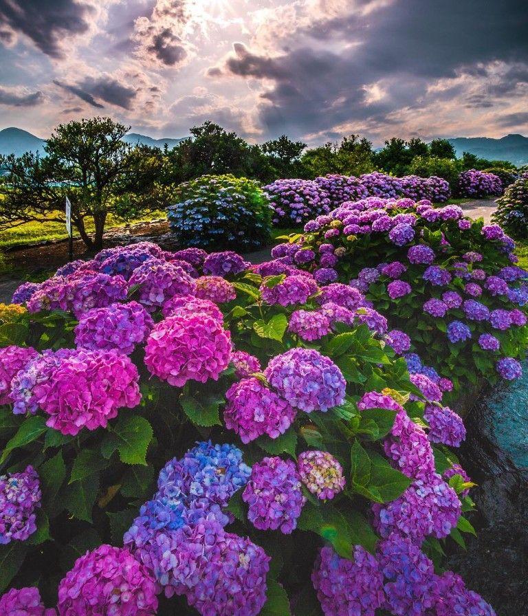 Pin By Runii Maharaj On Ortancalar Beautiful Hydrangeas Beautiful Gardens Beautiful Flowers