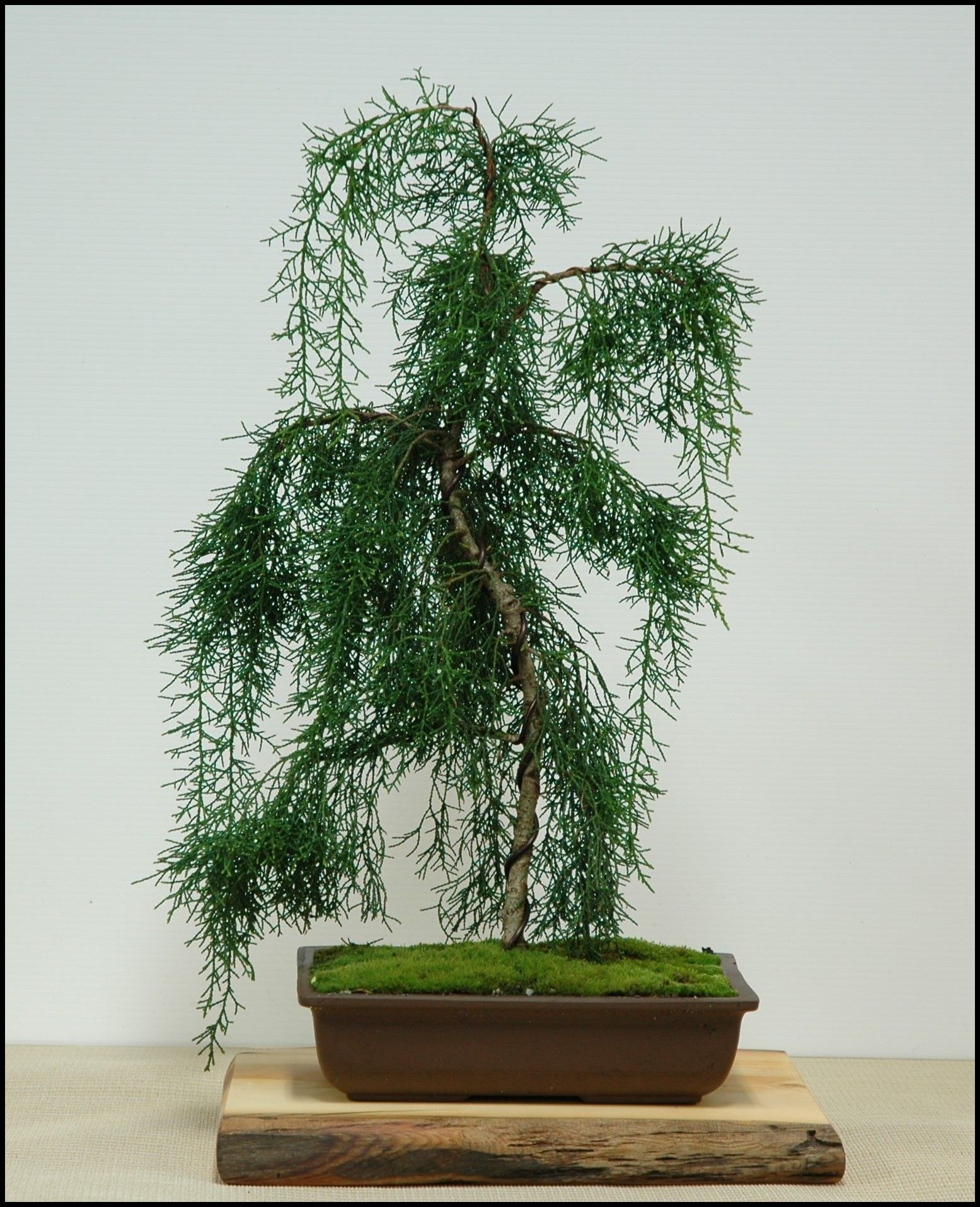 Huon pine (Largarostrobus franklinii) as a bonsai. Ancient, long lived, gorgeous timber.