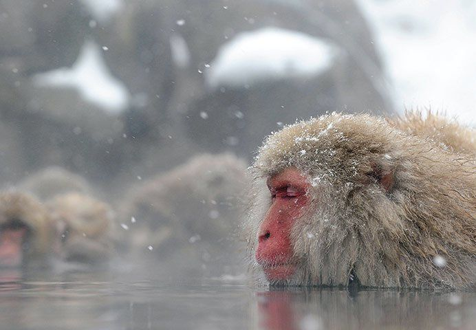The macaque monkeys of Japan, known as snow monkeys, enjoy a dip in the open-air hot springs at the Jigokudani (death valley) monkey park in Yamanouchi, Nagano prefecture. Some 160 monkeys inhabit the area, and are a popular tourist draw