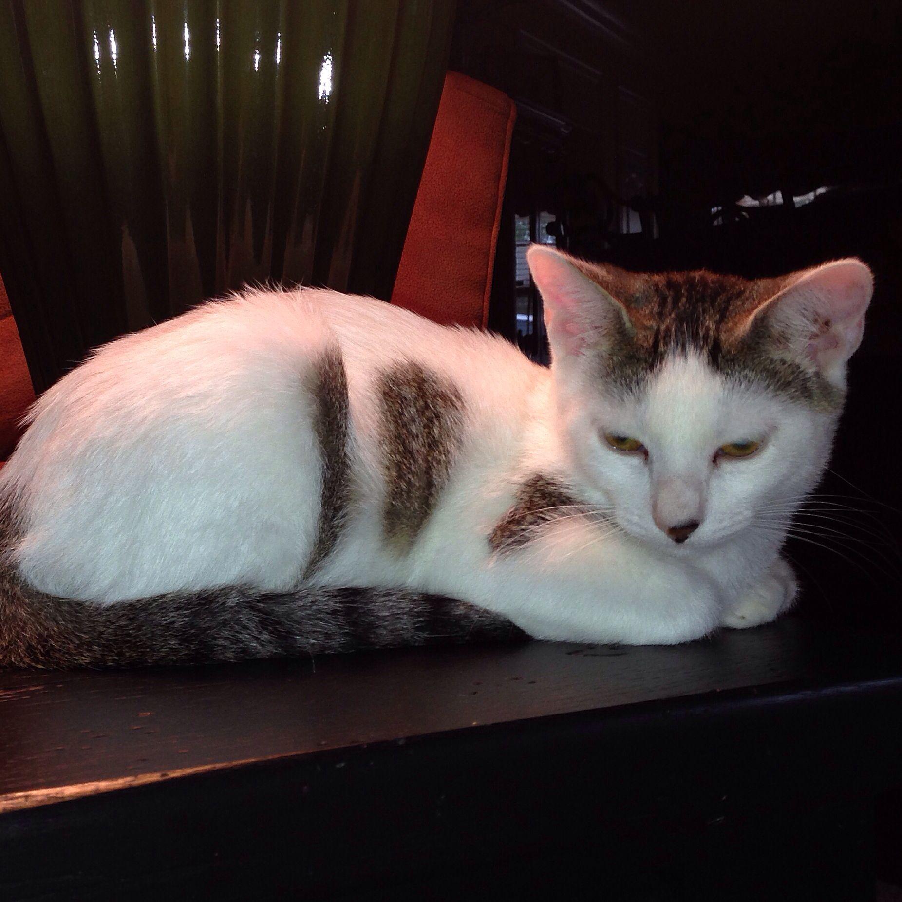 Grand Kitty Miss Lilly Jane Rescued At Petsmart Bengal Cat Kitten Bengal Cat Kittens