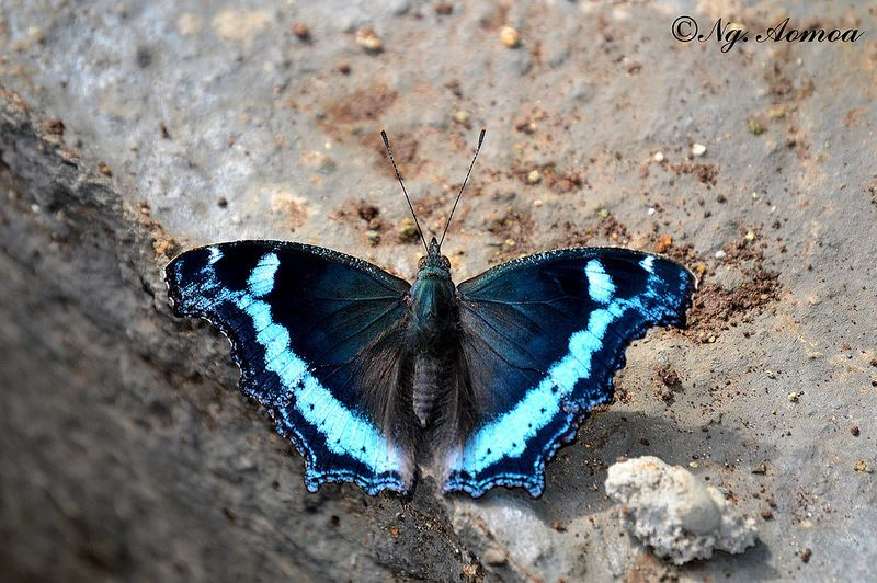 Blue Admiral(Kaniska canace) photographed by Ngangom Aomoa n 14th September 2014