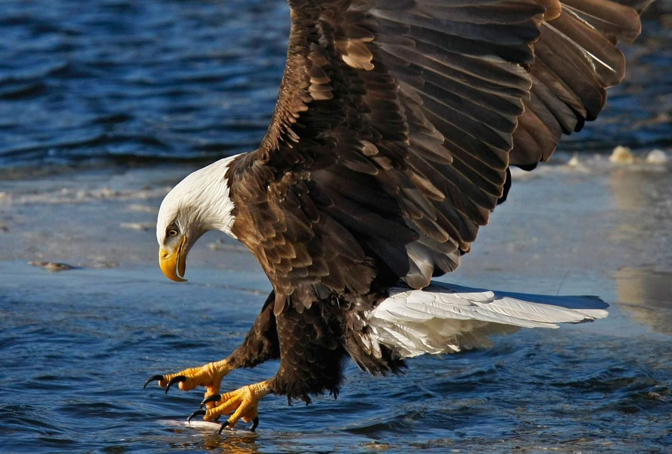 going in for the catch of the day Bald eagle, Largest