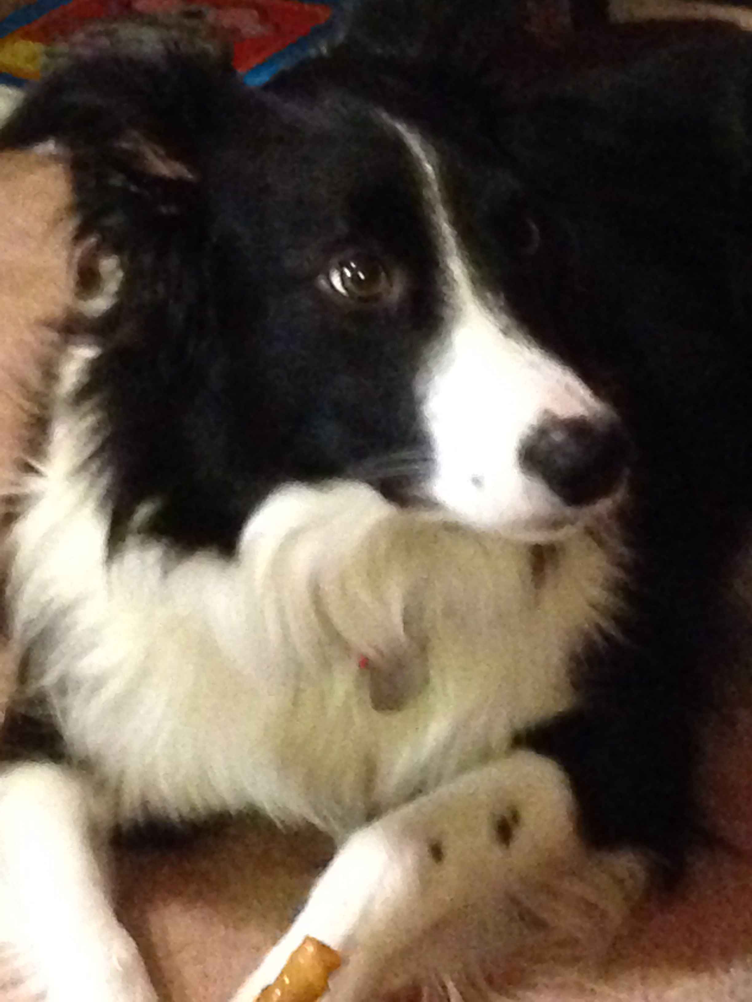 This Is A Lady Look Alike Miss Her Border Collie Puppies