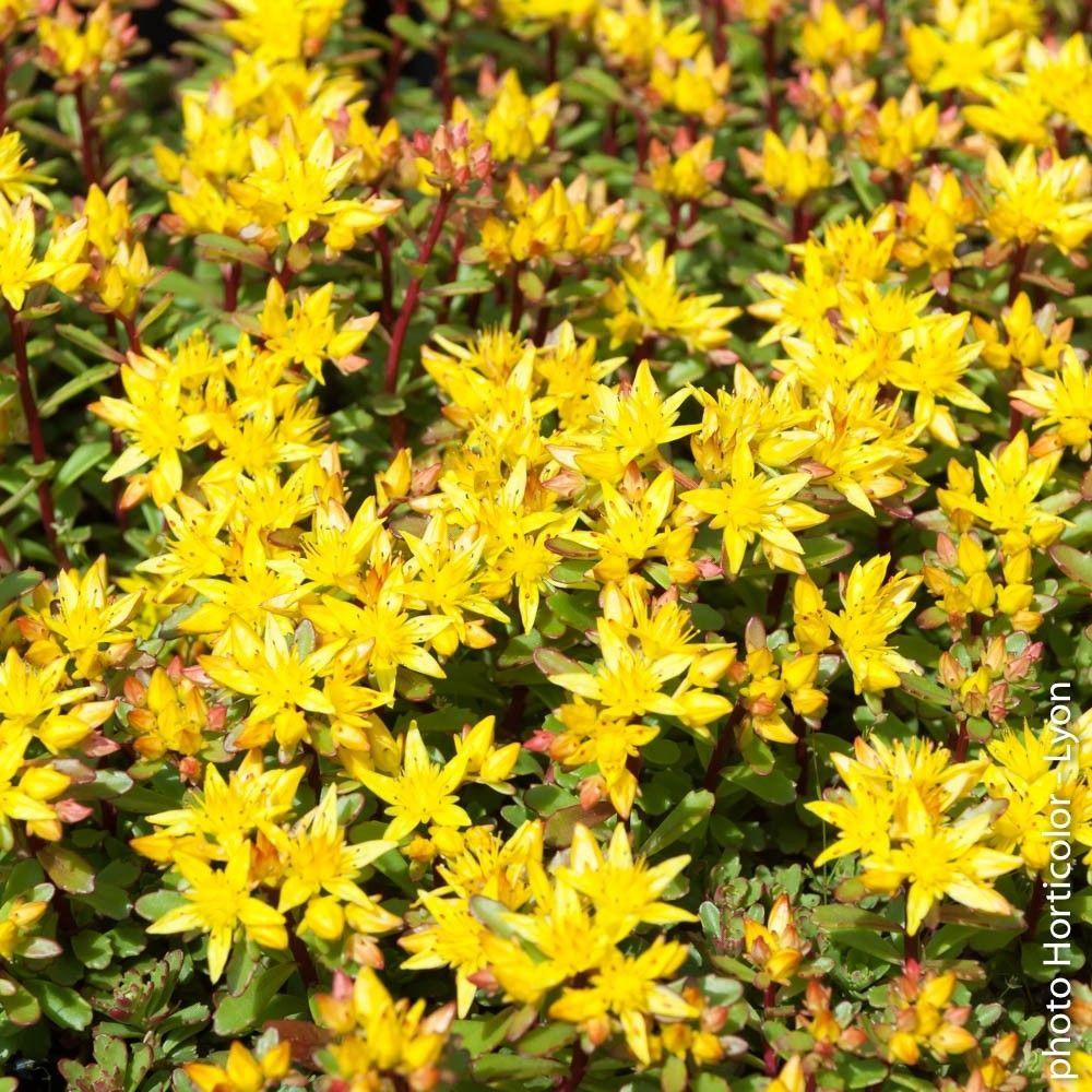Plante Couvre Sol Soleil le sedum floriferum jaune est une vivace rustique très