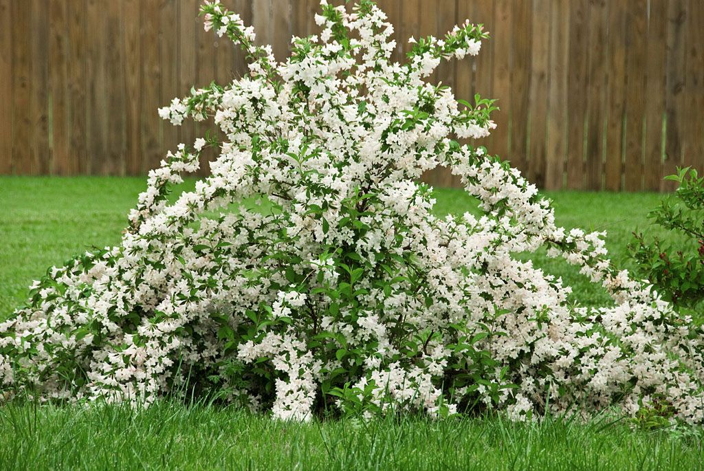 Kwitnie Cale Lato Krzewuszka Candida Bialy Kwiat 7150867671 Oficjalne Archiwum Allegro Flowering Shrubs Shrubs White Flowering Shrubs