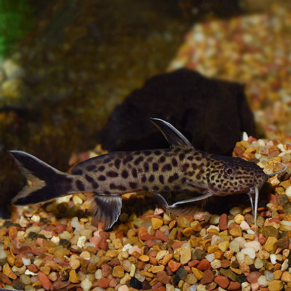 Dwarf Petricola Synodontis Catfish Tropical Fish For Freshwater Aquariums Freshwater Aquarium Fish Tropical Fish