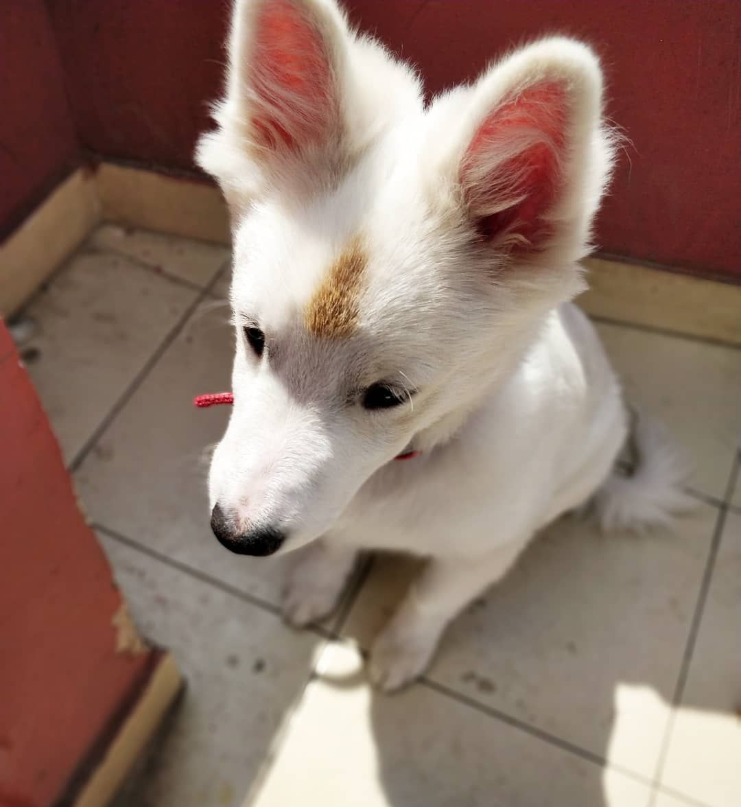 Rockys Birth Mark Is So Unique Pomeranian Pomeranianpuppy