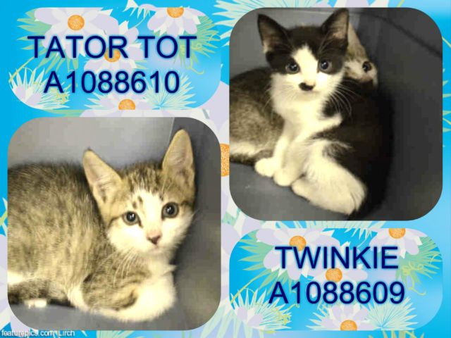 TWINKIE - A1088609 AND TATOR TOT - A1088610 - - Manhattan  ***TO BE DESTROYED 09/09/16***TWINKIE AND TATOR TOT ARE PURRFECT PAIR OF TASTY TREATS! All together now, AWWW! Twinkie and Tater Tot are two adorable and sweet kittens who desperately need their rescue angel tonight. Twinkie, the black and white cutie is about five weeks old and her kitty companion, Tator Tot, an adorable white and brown tabby mix, is about seven weeks old. These shy but gentle munchkins need to be