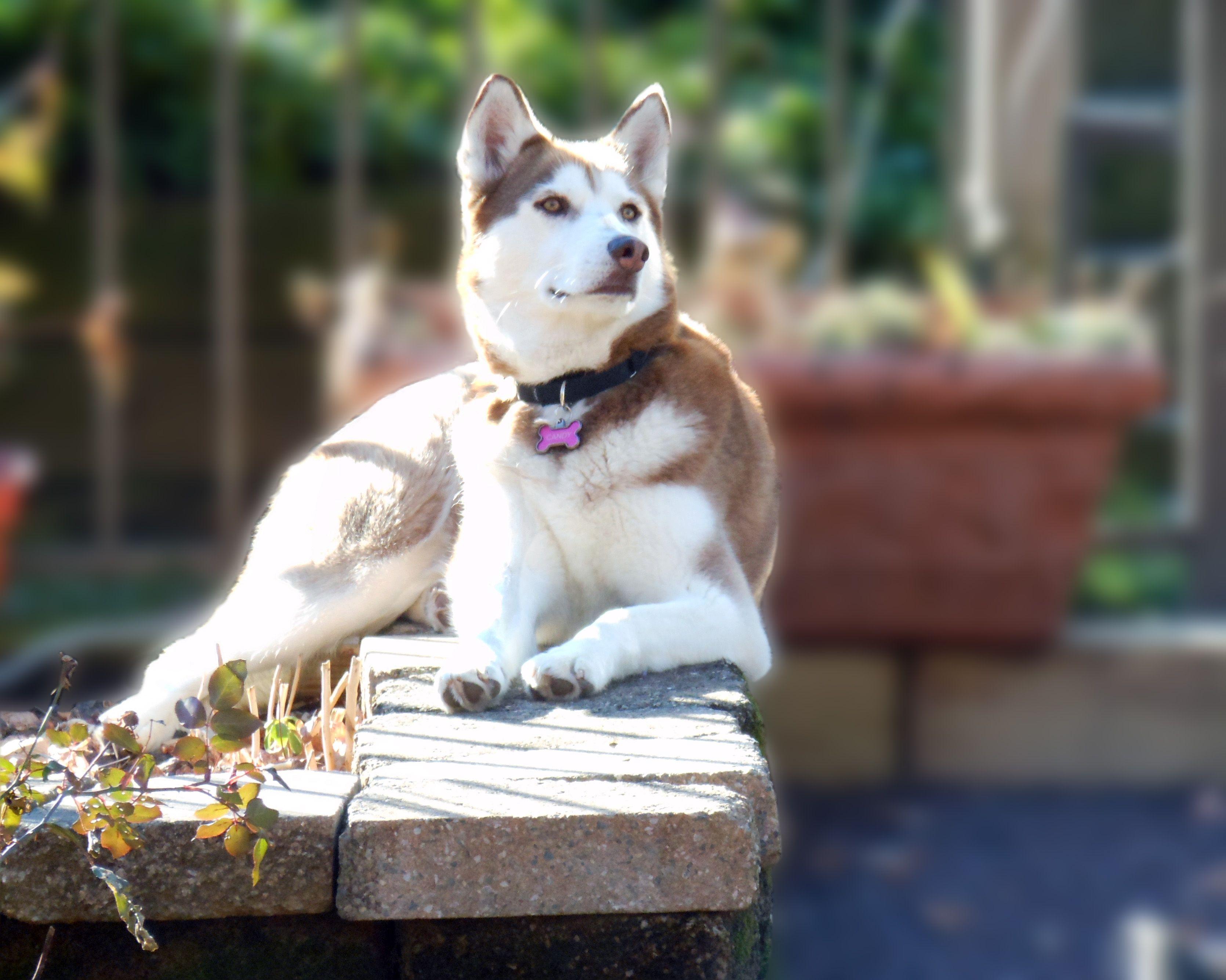 My beautiful RESCUE Candy. Siberian husky, Animals, Dogs