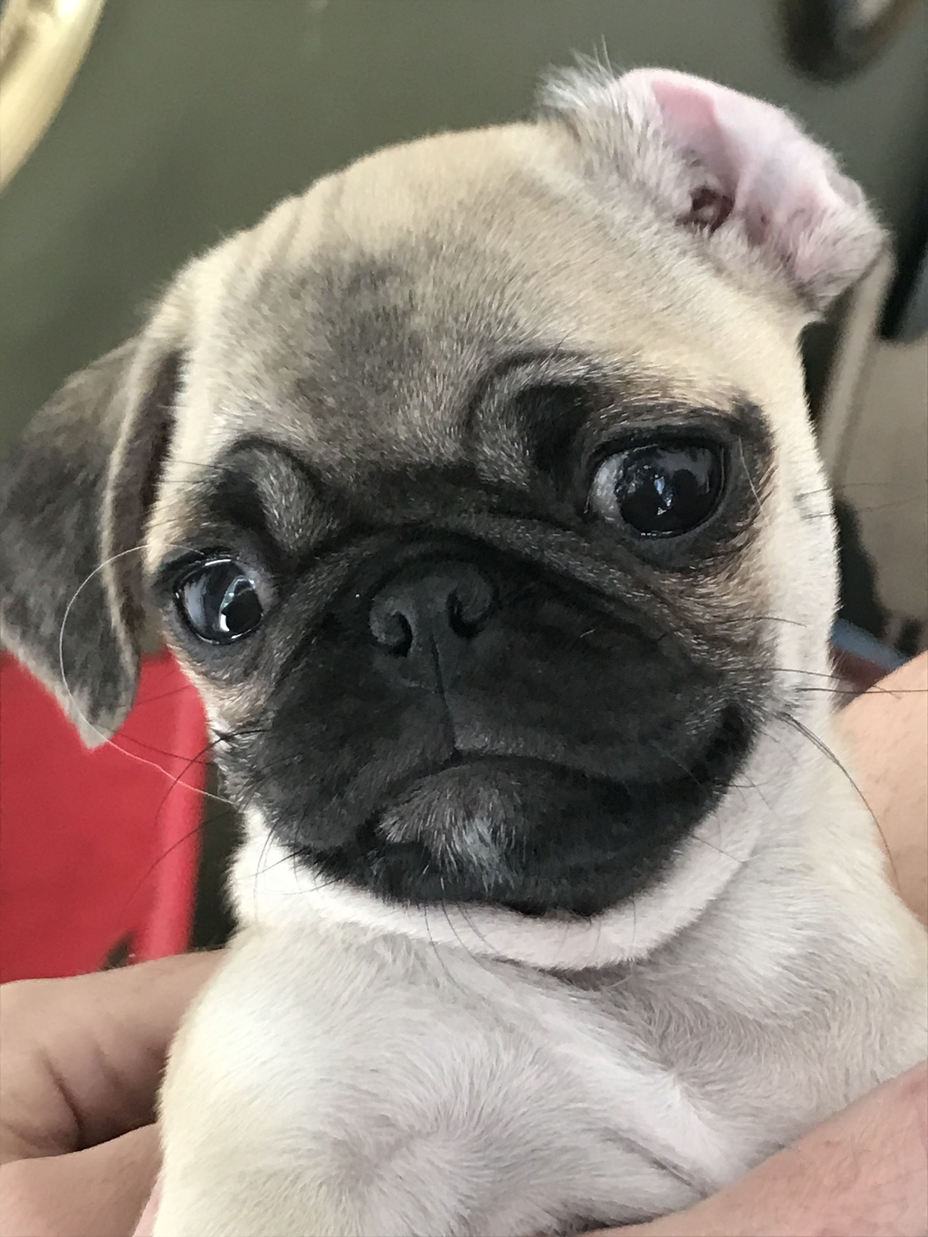Pin By Linda Blank On Animals Cute Baby Animals Pugs Pug Puppies