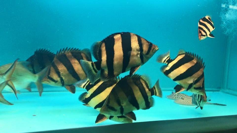 The Siamese Tigerfish Tiger Fish Freshwater Aquarium Fish Fish