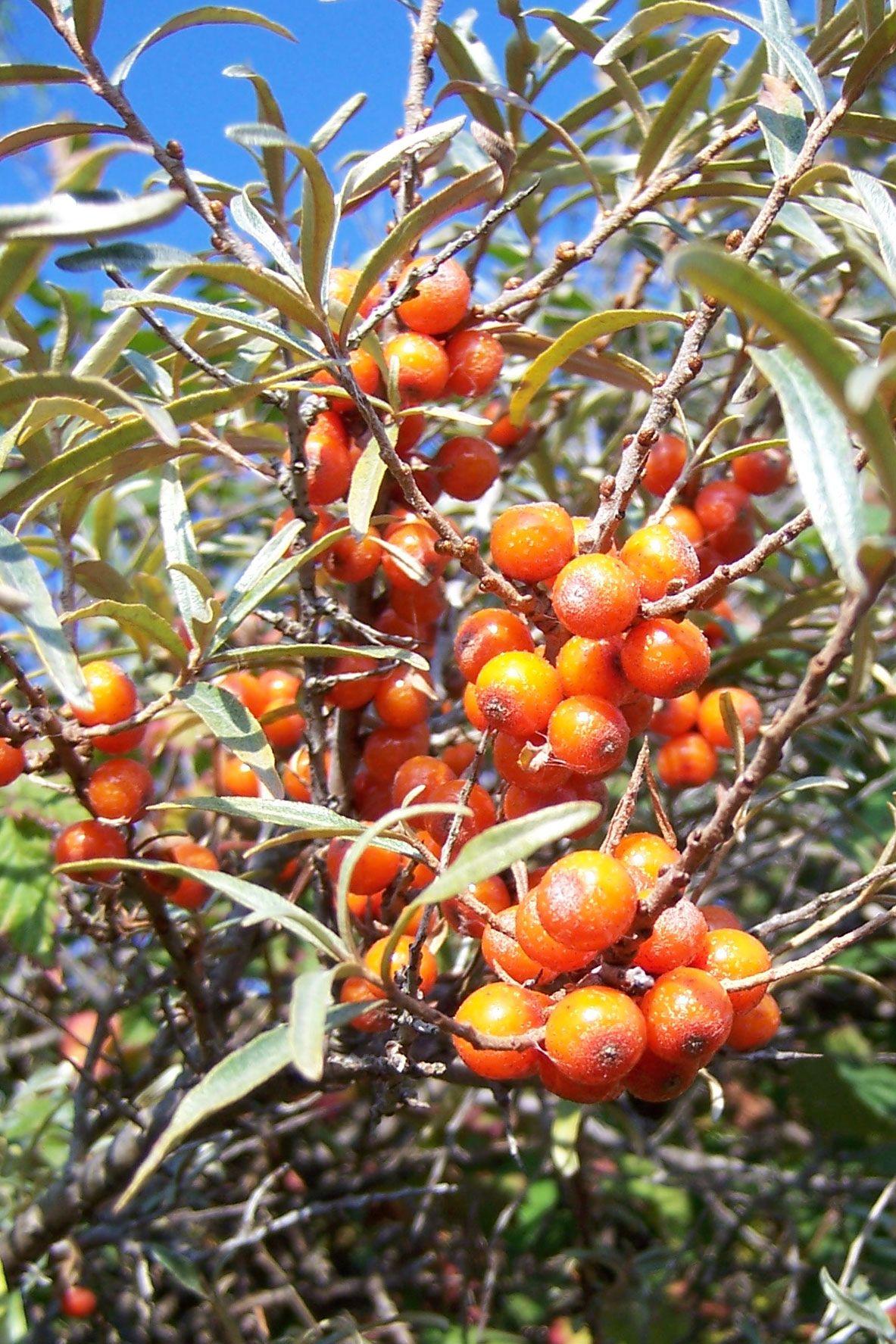 Seabuckthorns Trees Trees to plant, Plants, Shrubs