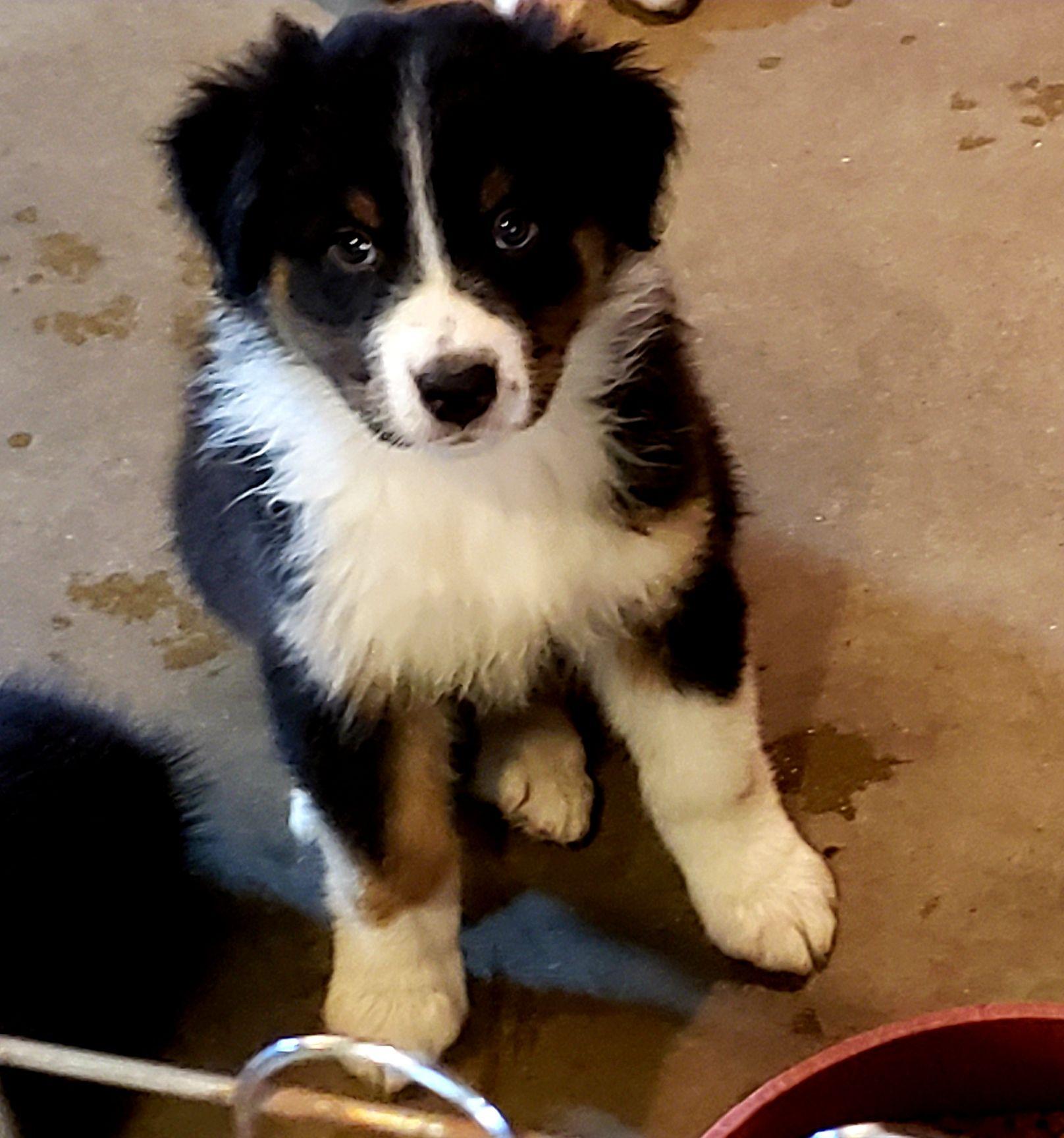 Black Tri Boy 8 Weeks Old 214 850 0226 Aussie Puppies