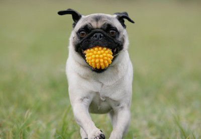 Toy I Will Carry You Everywhere Pug Baby Pug Dog Dogs Dog