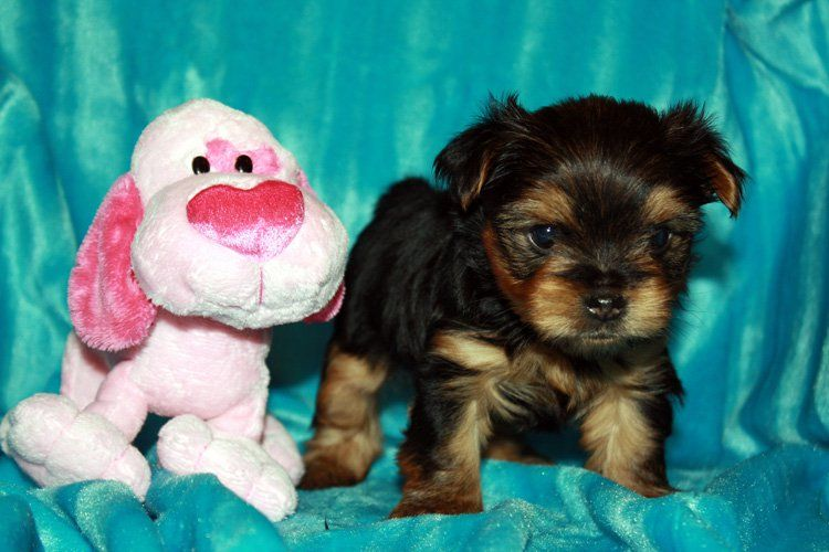 Click here for more info on this user teacup yorkie for