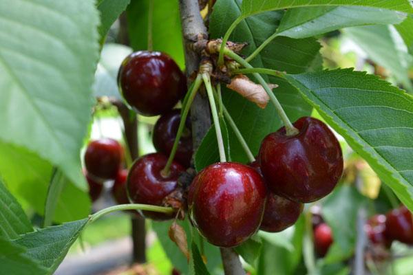 Lapins Sweet Cherry Fruit Trees Cherry Fruit Tree Fruit