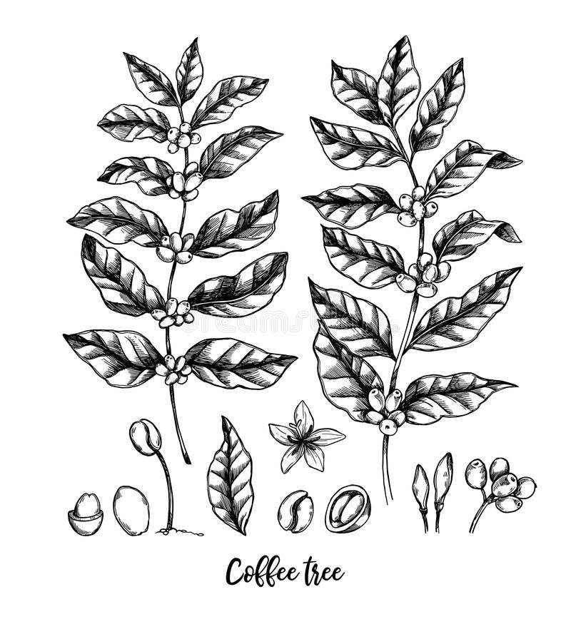 Hand drawn vector illustrations. Coffee tree and coffee