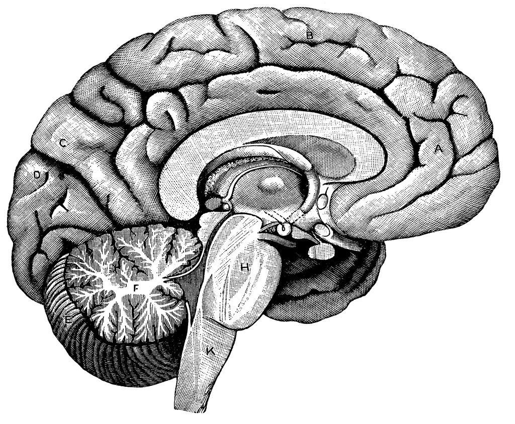 blank brain diagram human body anatomy human brain diagramblank brain diagram blank brain diagram diagram of human brain human brain diagram unlabeled brain clipart
