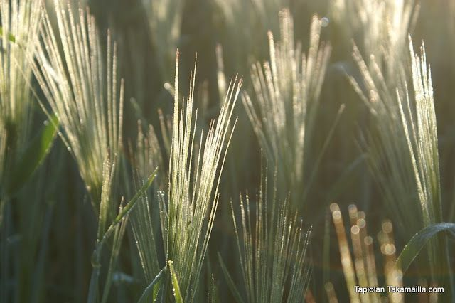 Ohrantähkiä aamuauringossa / Cobs of barley in the morning sun.