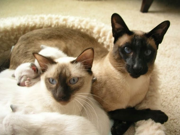 Carolina Blues Cattery Siamese Kittens For Sale Siamese Kittens Cattery Kittens