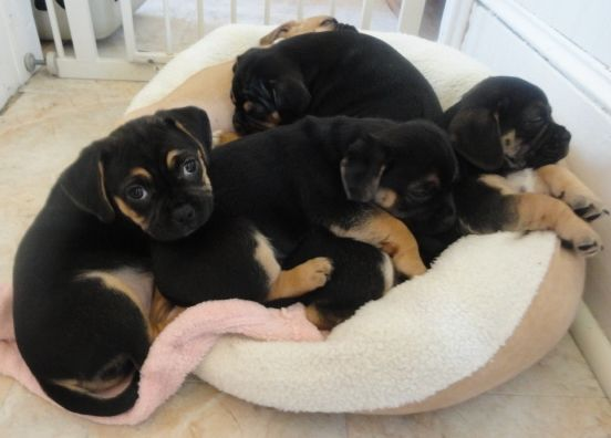 Puggles Are Too Big For Their Bed Now Puggle Puggle Dogs Best