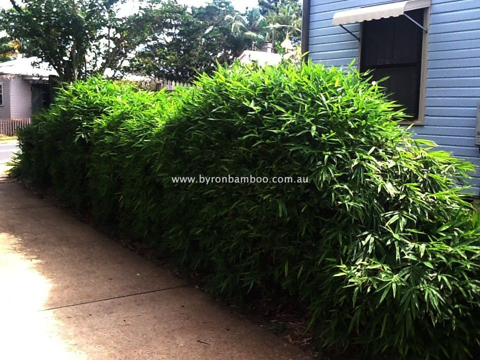 Chinese Dwarf Bamboo Very Dense And Bushy Perfect For Creating