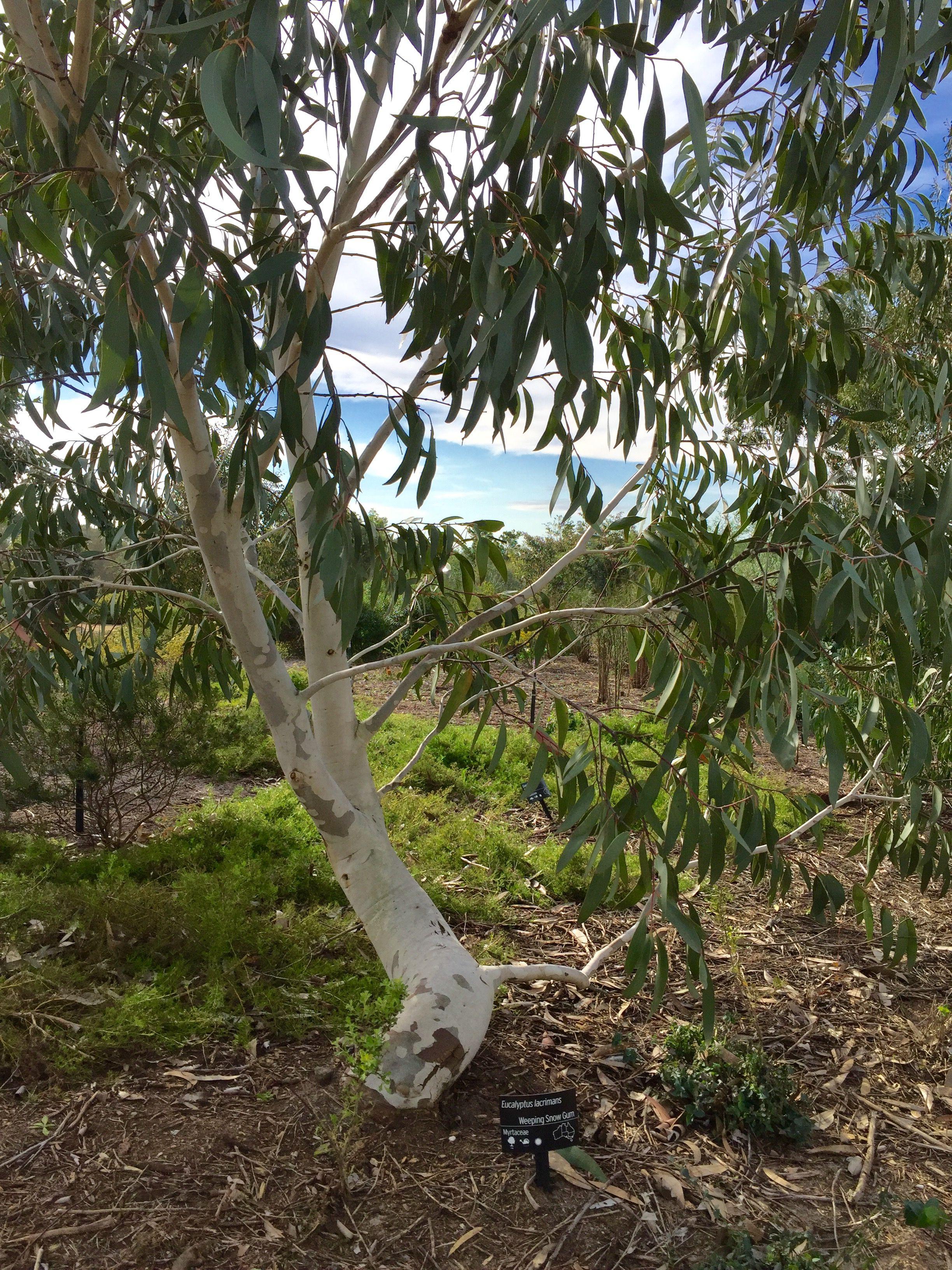weeping snow gum -  u201deucalyptus lacrimans u201d