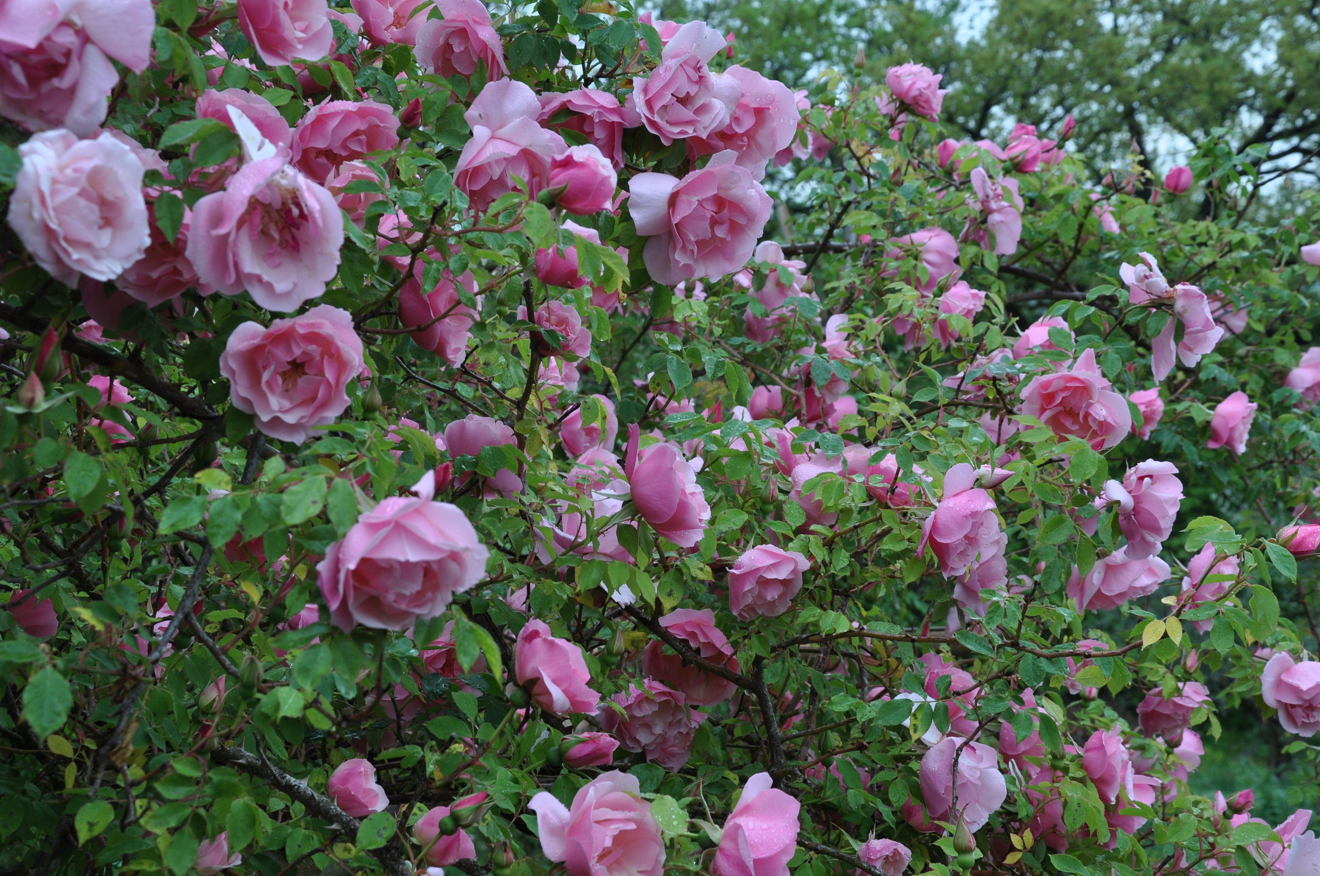 Lijiang Rose Syn Rosa Gigantea Rosea Flower Garden Garden Tours Flowers