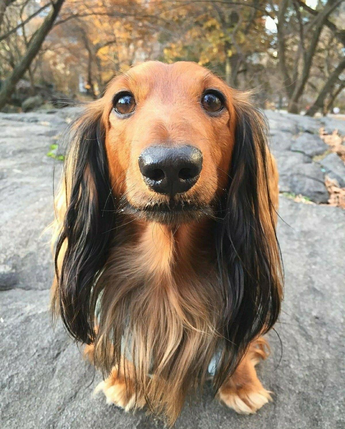 Dachshund Longhaired Baby dachshund, Dachshund dog, Dog