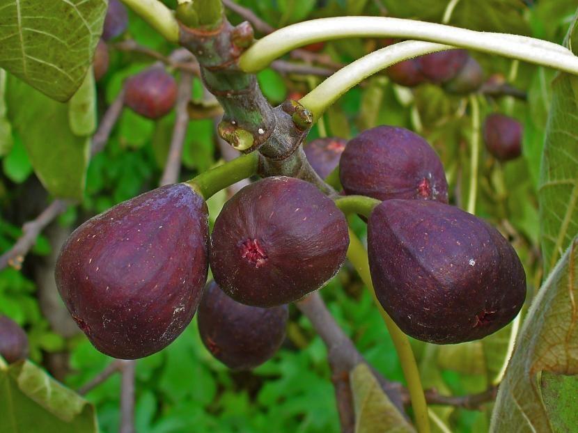 consejos para tener árboles frutales en macetas espléndidos | ficus