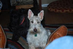 Macarthur Is An Adoptable Scottish Terrier Scottie Dog In Martinsville In This 7 Year Old Stunning Wheaton Scottie Is Macarthur And He Is A J Scottie Dog Terrier Scottish Terrier