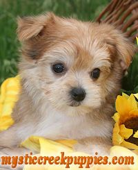 Maltipoo Or Akc Maltese Puppies From Mystic Creek Puppies