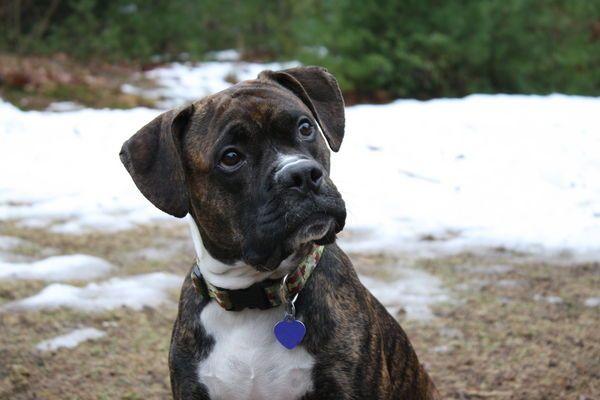 Boxer Pitbull mix....best dog I have eve had! Bull boxer