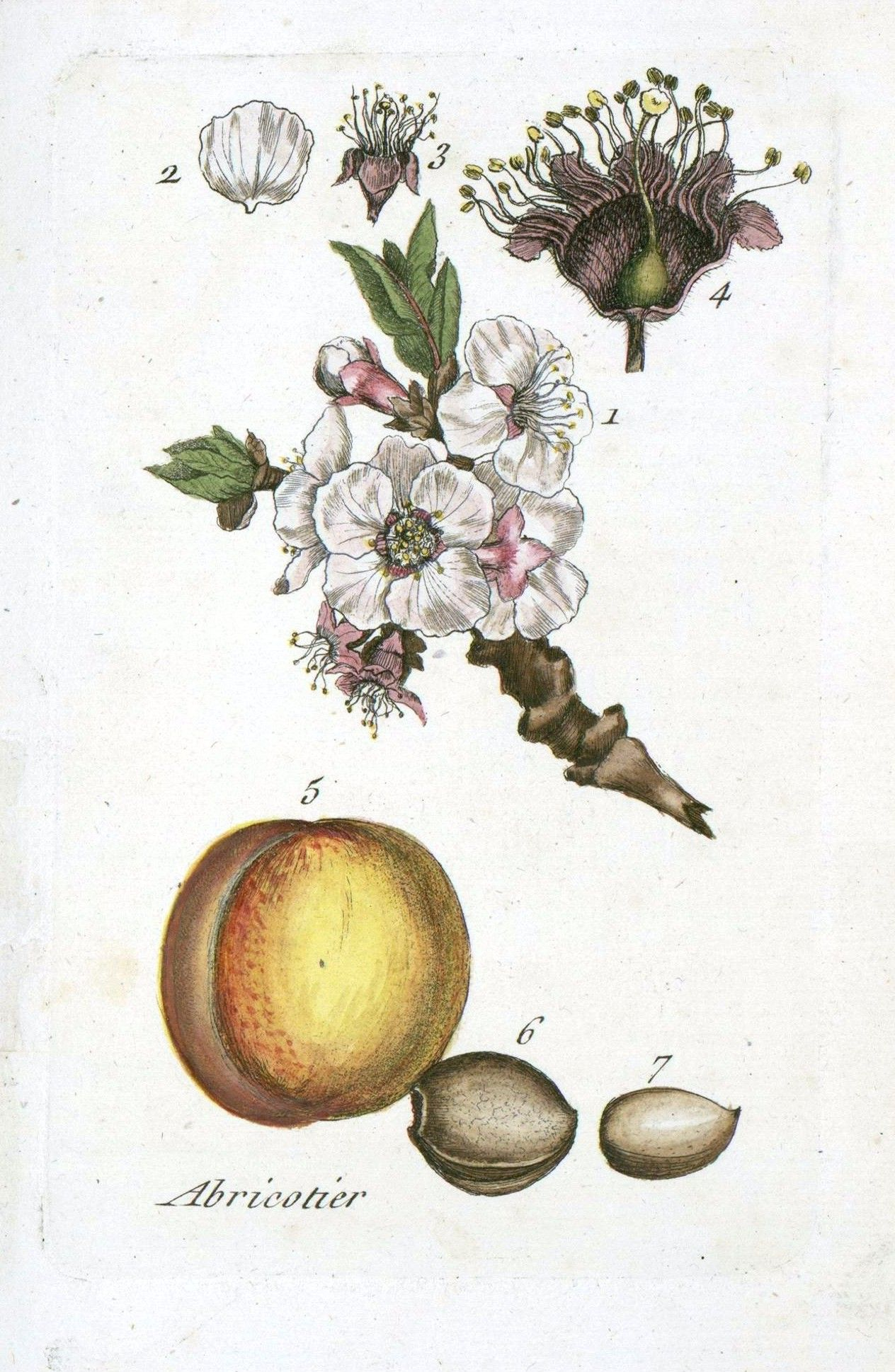 Botanical - La Flore Des Environs De Paris -  (2)