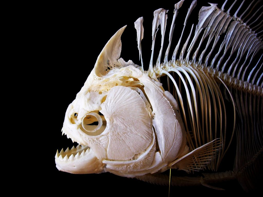 Fancy Fish Skeleton Anatomy Crest - Human Anatomy Images ...