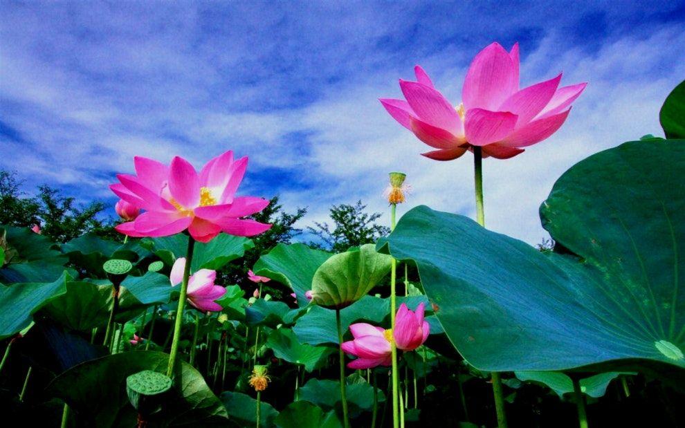 Best of images of lotus flowers lotus flower meaning and best of images of lotus flowers lotus flower meaning and symbolism mythologian net mightylinksfo