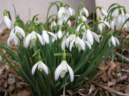 Snowdrops Or The Confessions Of A Galanthophile With Images Shade Garden Snowdrop Plant Outside Plants