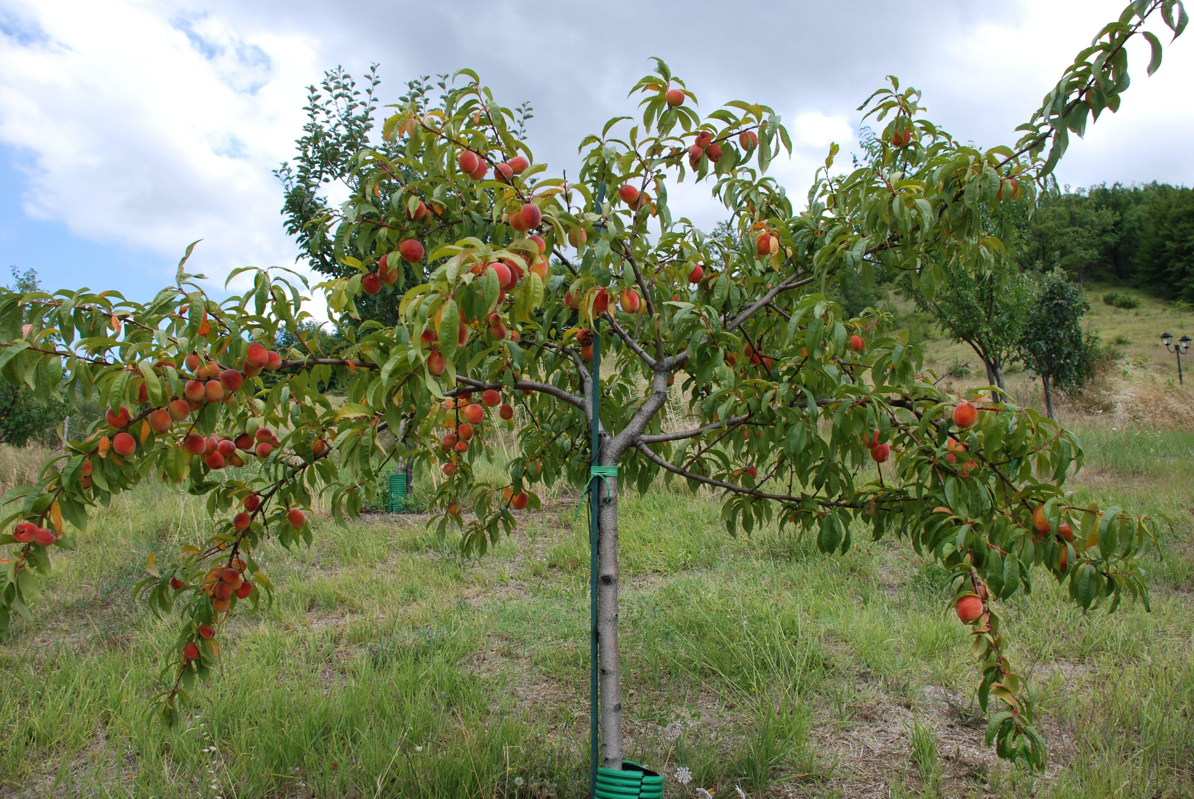 My Orchard Garden