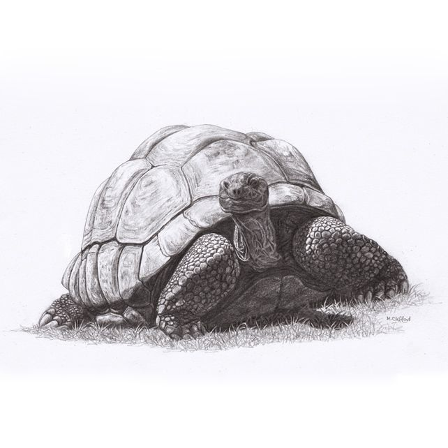 Giant Tortoise Original Graphite Pencil Drawing | Tortoise ...