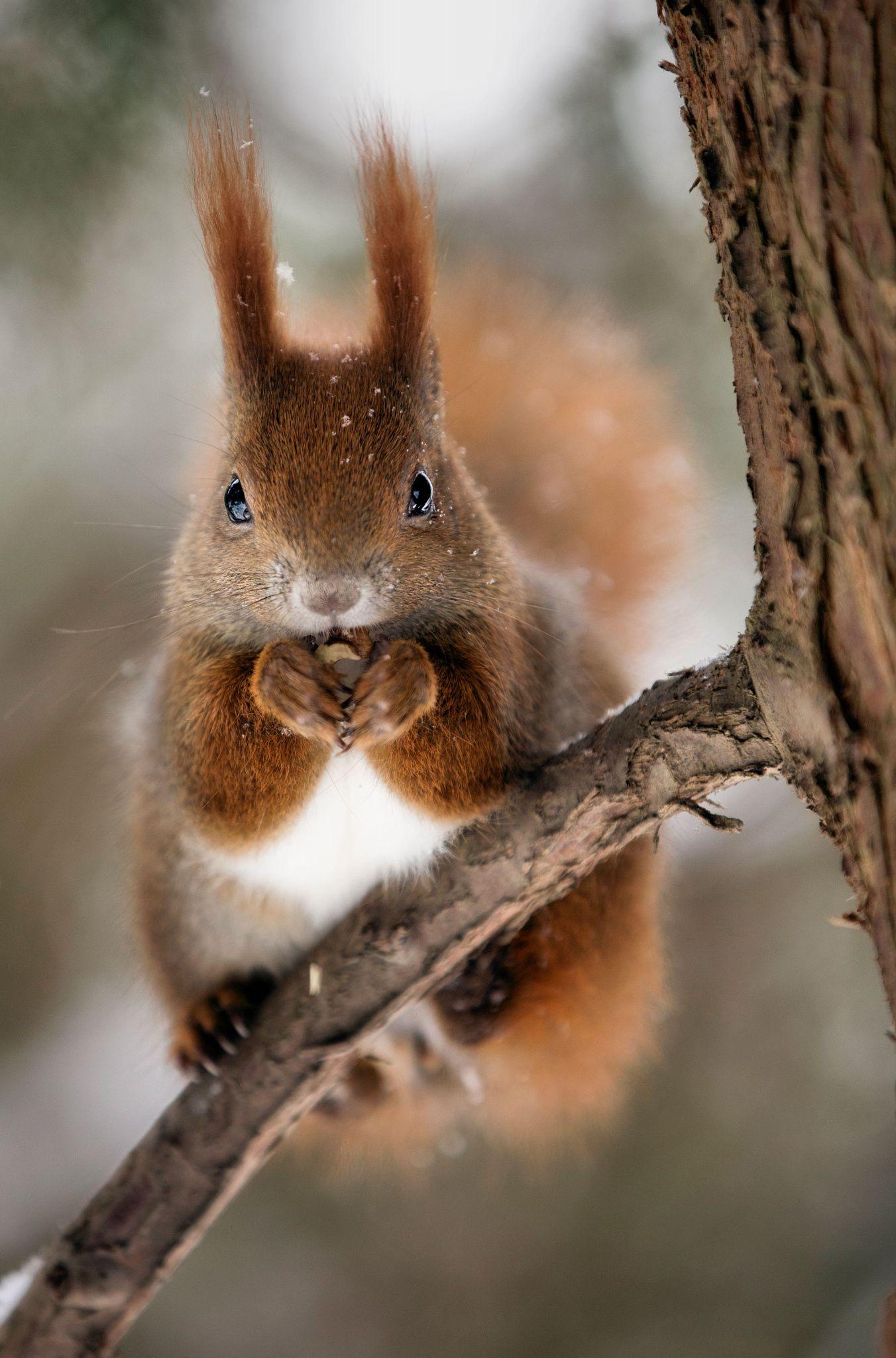 squirrel eichh rnchen tierbabys pinterest eichh rnchen tier und s e tiere. Black Bedroom Furniture Sets. Home Design Ideas