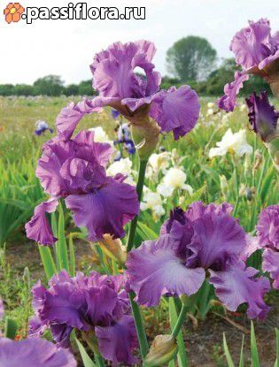 Good Looking Galereya Grape Kool Aid How To Look Better Iris