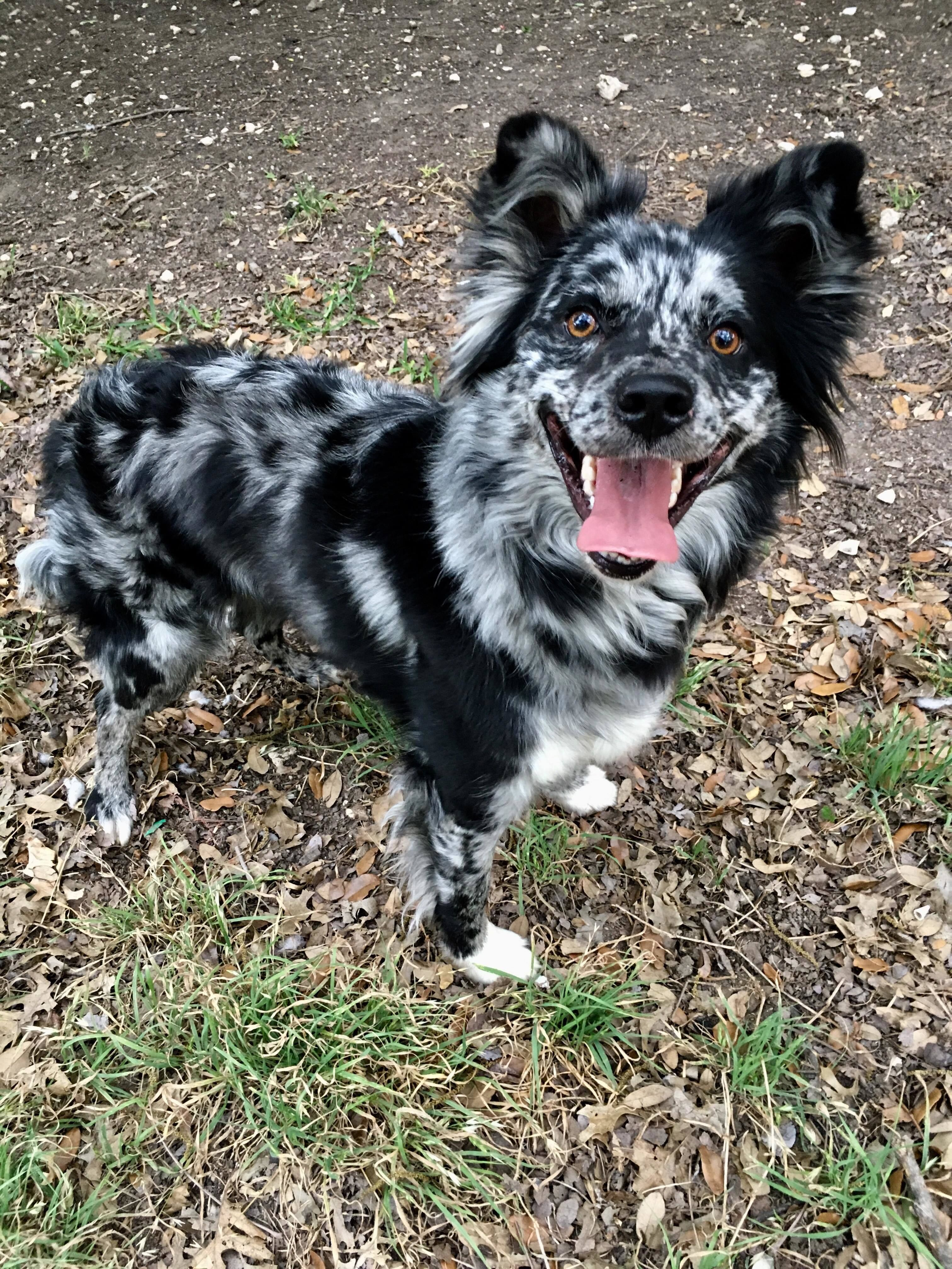 Adopt Dakota On Shepherd Mix Dog Australian Shepherd Pets