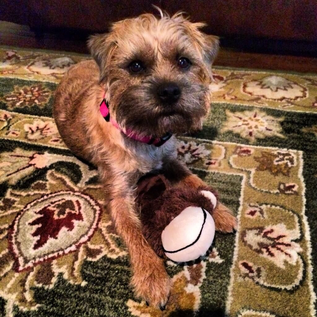 Pip The Dog On Border Terrier Brown Dog Dogs